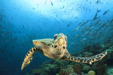 Hawksbill Sea Turtle. School Jackfish (Trevally fish). Coral reef. Sipadan, Malaysia