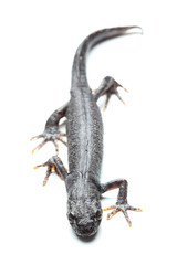 Great crested newt (Triturus cristatus) on white