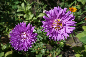 Two aster callistephus purple flower on sunny day