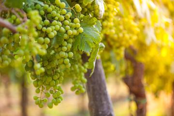 Whites grapes (Pinot Blanc) in the vineyard during sunrise.