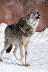 wolf howling in the winter snow