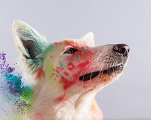 The White Swiss Shepherd dog in a studio.