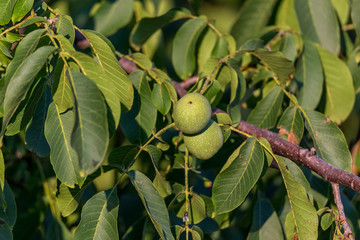 Walnut on a tree branch ripens for harvest. Authentic farm series.