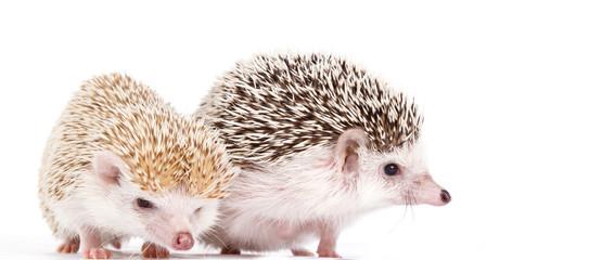 African hedgehogs