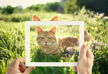 Male hands taking photo of cute cat on tablet.