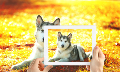 Male hands taking photo of cute puppy on tablet.