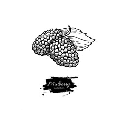 Mulberry vector superfood drawing. Isolated hand drawn  illustra