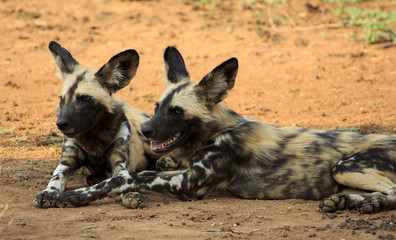Two lying down African Wild Dogs