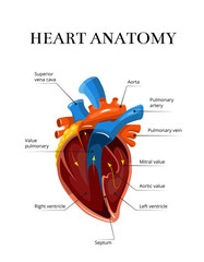 Heart sectional anatomy vector cardiological illustration