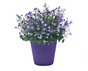 Campanula flowers in plastic pot separated on white background