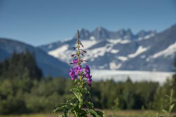 Fireweed, Mendenhall Glacier, Juneau