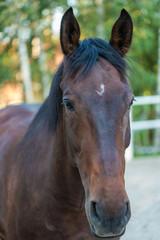 Koń na tle brzozowego zagajnika