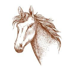 Arabian stallion horse head sketch