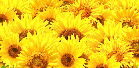 Fototapete - Horizontal background with bright yellow sunflowers