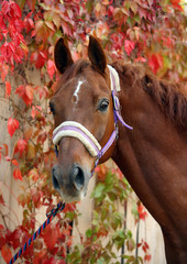 Thoroughbred horse on the background of grape leaves