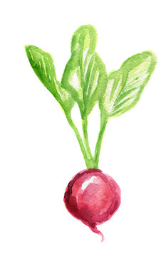 Isolated watercolor radish on white background. Fresh and clean eating, keeping diet. Vegetarian food.