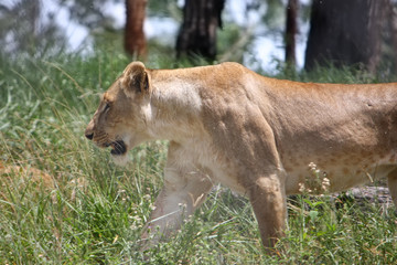 Female lion prowling through bush