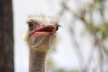 Ostrich portrait viewed from below