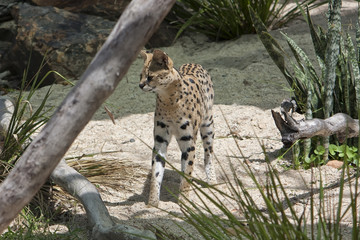 Serval a wildcat standing on sand