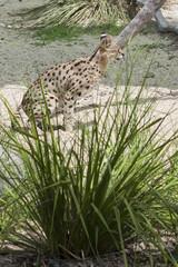 Crouching Serval near grass