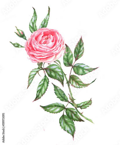 Hand Drawn Watercolor Illustration Of The Pink Tender Rose Romantic Spring Floral Drawing