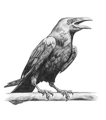 Pencil drawing of raven
