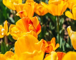 Colorful tulip garden in spring