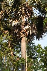 Ernten der Zuckerpalmen in Angkor Wat