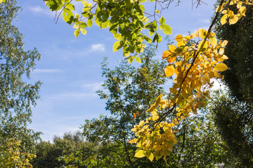 yellow and green leaves in the sunlight against the blue sky