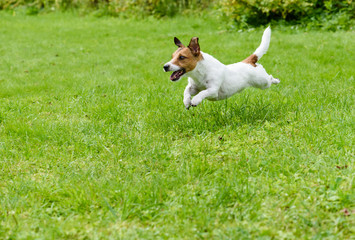 Playing dog on green grass running and jumping