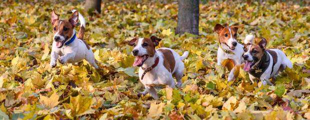 Pack of Jack Russell Terriers running at fall (autumn) park Wall mural