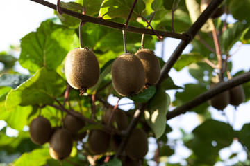 Close-up of ripe kiwi fruit on the bushes. Italy agritourism