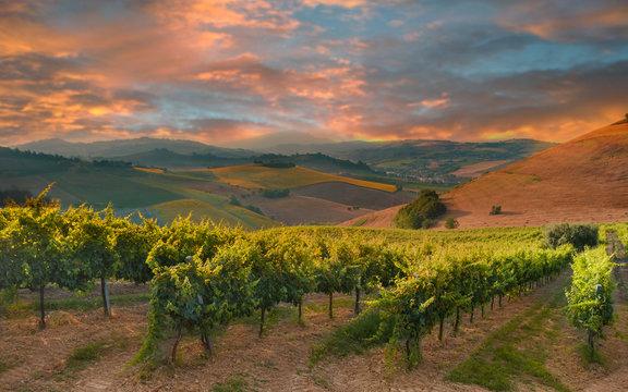 Rows of vineyard among hills on sunset