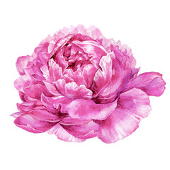 Watercolor peony illustration