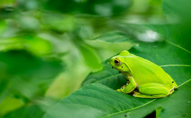 American green tree frog with lush ginger foliage..
