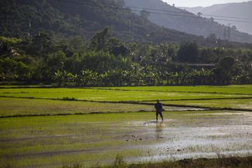 the rice fields of Vietnam green landscape