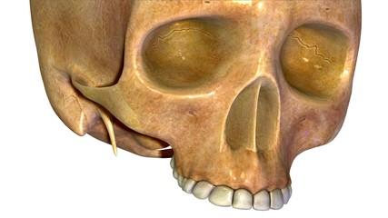 Human skull anatomy illustration