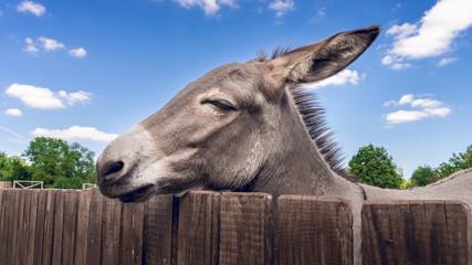 Foto auf AluDibond Esel Esel am Zaun im Streichelzoo