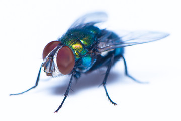 A house fly on the white background