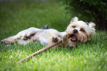 Yorkshire terrier plays with a stick