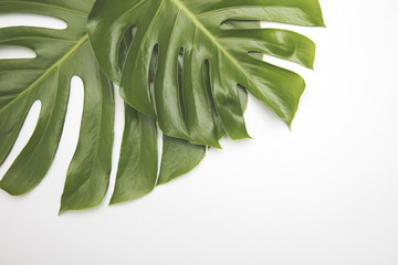 Large green tropical leaf from the monstera plant