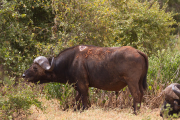 Buffalo in Tsavo National Park, Kenya