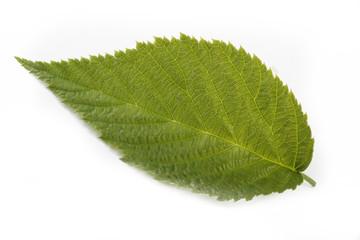 Green leaf of raspberry isolated