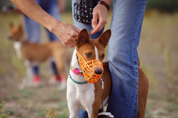 Portrait of Basenji dogs muzzled for a run Wall mural