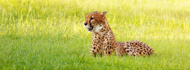 Cheetah Laying in Long Grass