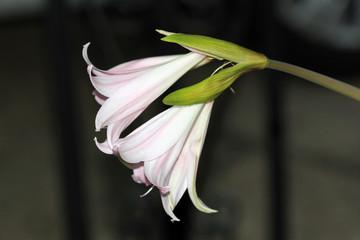 Azucena rosada de otoño, amaryllis belladonna, Sauceda, Hurdes, Cáceres