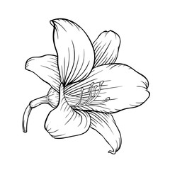 black and white lily isolated on white background.
