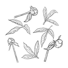 set of beautiful black and white peony leaves and buds isolated on background.