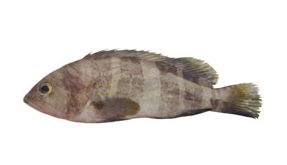 Banded grouper fish isolated on white background, pinephenus amblycephalus