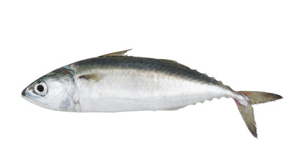 Chub mackerel fish isolated on the white background